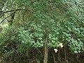 Acer monspessulanum.001 - Monfrague.jpg