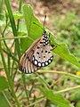 Acraea violae - Tawny Coster - Ovipositing at Peravoor 02.jpg