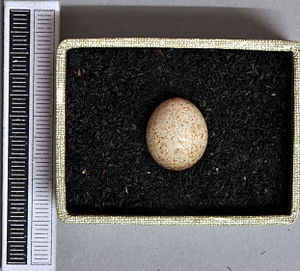 Sedge warbler - Egg, Collection Museum Wiesbaden