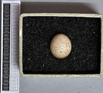 Sedge warbler - Egg, Collection Museum Wiesbaden