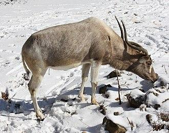 Addax - The coat colour in winter