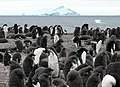 Adelie penguin colony.jpg