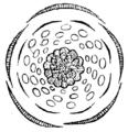 Adonis autumnalis flowerdiagram.png