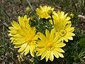 Adonis vernalis (12176324875).jpg