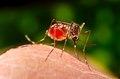 Aedes aegypti CDC9186.tif
