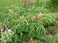 Aesculus pavia rosea nana - Flickr - peganum.jpg