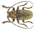 Aesopida malasiaca (Thomson, 1864).png
