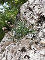 Aethionema saxatile (s. str.) sl7.jpg
