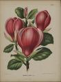 Afbeelding-015-Magnolia x soulangeana.tif