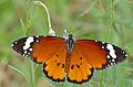 African Monarch (Danaus chrysippus aegyptius) (17389277322).jpg