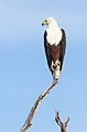African fish eagle, Haliaeetus vocifer, at Chobe National Park, Botswana (33516612241).jpg