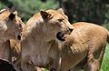 African lion, Panthera leo at Krugersdorp Game Park, South Africa (31156918412).jpg