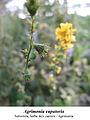 Agrimonia eupatoria 2.jpg
