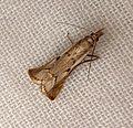Agriphila geniculea - Flickr - gailhampshire (5).jpg