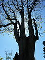 Ailanthus giraldii-old tree-backlighted.JPG