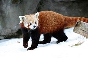 Musteloidea - ferret, raccoon on Amazing-Anthro - DeviantArt