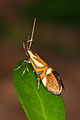 Alabonia geoffrella - Burgenland 2.jpg