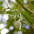 Alangium chinensis fleurs2.jpg