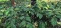 Alangium salviifolium leaves 11.JPG