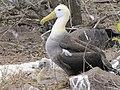 Albatross birds - Espanola - Hood - Galapagos Islands - Ecuador (4871679906).jpg
