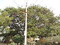 Albizia saman (Raintree) (12).jpg