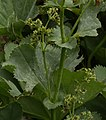 Alchemilla acutiloba inflorescence (05).jpg