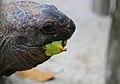 Aldabra Giant Tortoise (15620577061).jpg