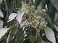 Aleurites moluccana flower4.jpg