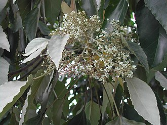 Aleurites moluccanus - Image: Aleurites moluccana flower 4