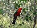 Alisterus scapularis -Brisbane-6a.jpg