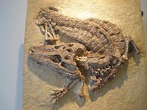 American alligator - Alligator prenasalis fossil