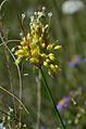 Allium flavum (8248156770).jpg
