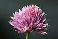 Allium schoenoprasum-001.jpg