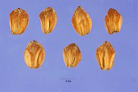 Alnus maritima seeds.jpg