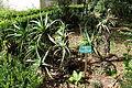Aloe arborescens - Jardim Botânico Tropical - Lisbon, Portugal - DSC06558.JPG