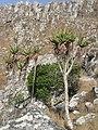 Aloe munchii (4330411500).jpg