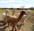 Alpaca in The Rodings, Essex, England 08.jpg