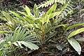 Alpinia zerumbet 24zz.jpg