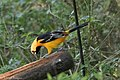 Altamira Oriole National Butterfly Center Mission TX 2018-03-01 16-18-45 (40621043802).jpg