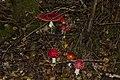Amanita muscaria (5033774121).jpg