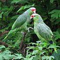 Amazona autumnalis (28245436915).jpg