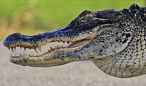 American alligator - American alligator showing teeth
