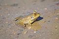 American Bullfrog (Juvenile) (Lithobates catesbeianus) (15339972466).jpg