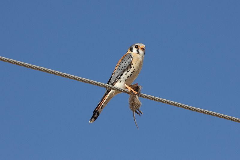 File:American Kestrel (Falco sparverius) (3399138539).jpg
