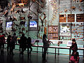 American Museum of Natural History Biodiversity Hall anagoria.JPG