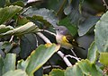 American Redstart (31015580198).jpg