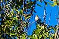 American goldfinch (31607227228).jpg