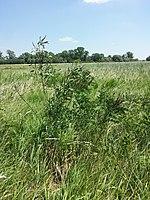 Amorpha fruticosa sl1.jpg