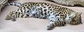 AmurLeopard6.jpg