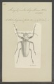 Ancyloprotus - Print - Iconographia Zoologica - Special Collections University of Amsterdam - UBAINV0274 032 04 0002.tif